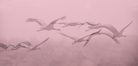 Desmoiselles Cranes 060
