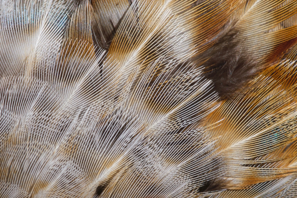 Pheasant Feather1