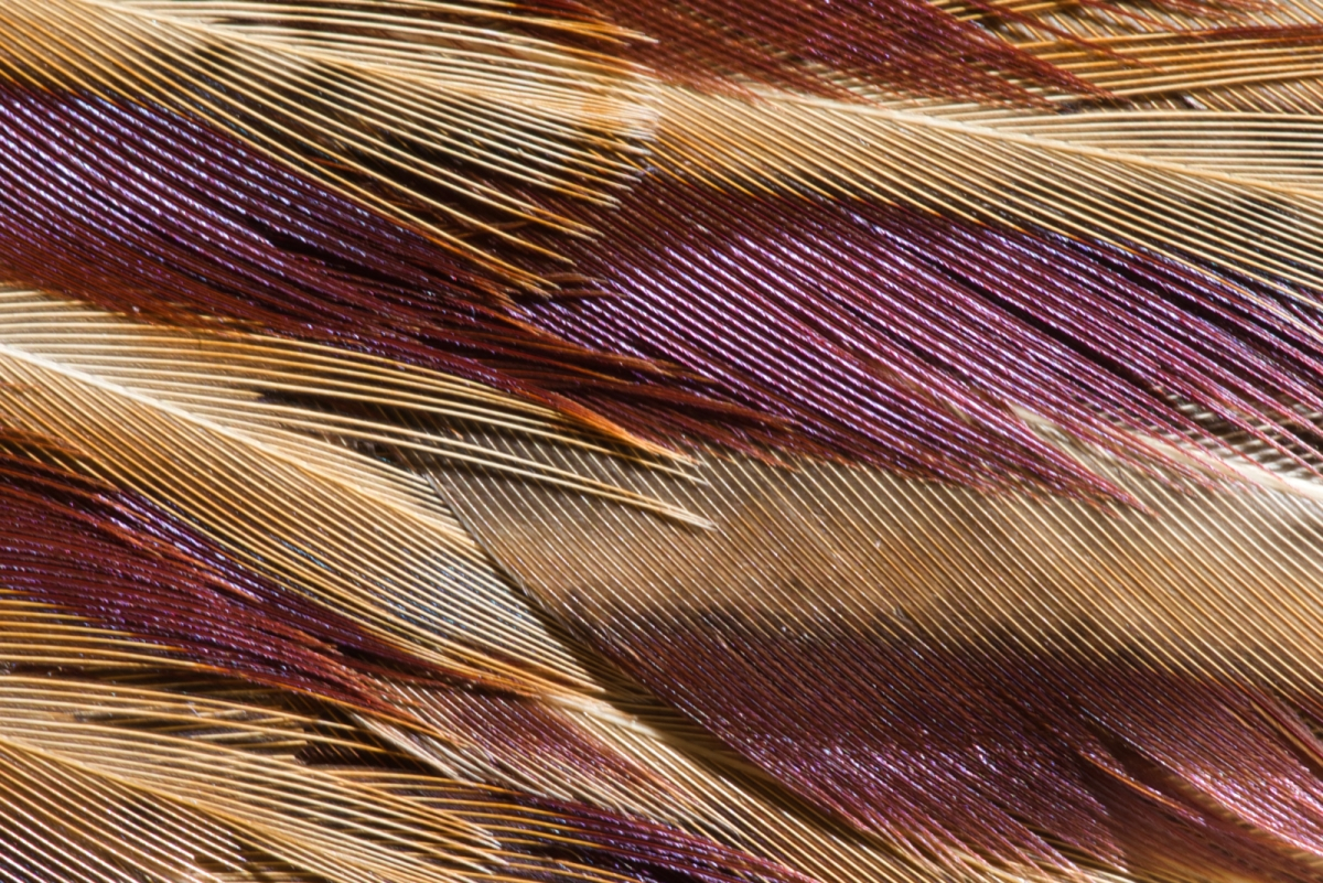 Pheasant Feather2